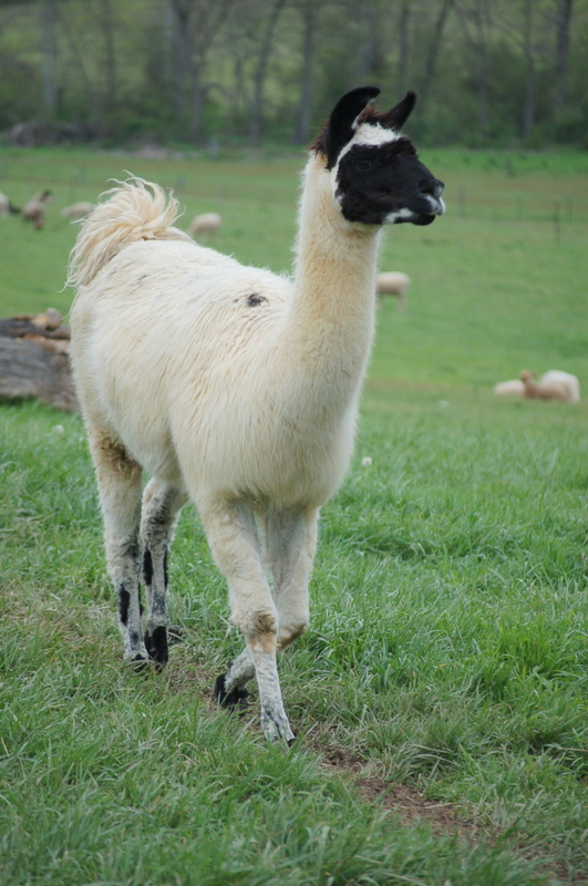 Dolly the Llama